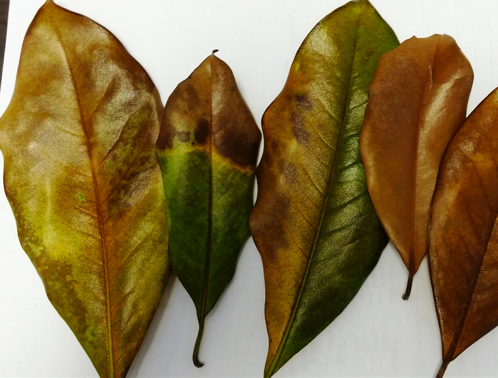 magnolia leaves- Plant Problems – Master Gardeners Association of ...